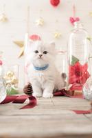 1匹の猫 ペルシャ(チンチラ シルバー) 21028022967  写真素材・ストックフォト・画像・イラスト素材 アマナイメージズ