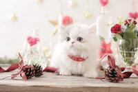 1匹の猫 エキゾチック(ロングコート) 21028022968  写真素材・ストックフォト・画像・イラスト素材 アマナイメージズ