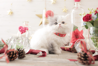 1匹の猫 エキゾチック(ロングコート) 21028022969  写真素材・ストックフォト・画像・イラスト素材 アマナイメージズ