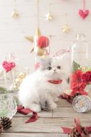 1匹の猫 エキゾチック(ロングコート) 21028022971  写真素材・ストックフォト・画像・イラスト素材 アマナイメージズ