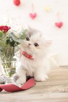 1匹の猫 エキゾチック(ロングコート) 21028022973  写真素材・ストックフォト・画像・イラスト素材 アマナイメージズ