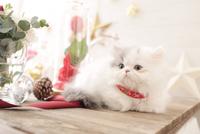 1匹の猫 エキゾチック(ロングコート) 21028022976  写真素材・ストックフォト・画像・イラスト素材 アマナイメージズ