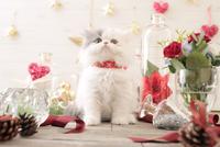 1匹の猫 エキゾチック(ロングコート) 21028022977  写真素材・ストックフォト・画像・イラスト素材 アマナイメージズ