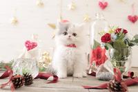 1匹の猫 エキゾチック(ロングコート) 21028022979  写真素材・ストックフォト・画像・イラスト素材 アマナイメージズ