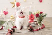 1匹の猫 エキゾチック(ロングコート) 21028022981  写真素材・ストックフォト・画像・イラスト素材 アマナイメージズ