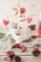 1匹の猫 エキゾチック(ロングコート) 21028022984  写真素材・ストックフォト・画像・イラスト素材 アマナイメージズ