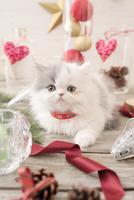 1匹の猫 エキゾチック(ロングコート) 21028022985  写真素材・ストックフォト・画像・イラスト素材 アマナイメージズ