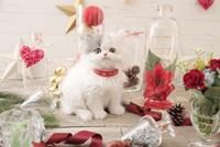 1匹の猫 エキゾチック(ロングコート) 21028022988  写真素材・ストックフォト・画像・イラスト素材 アマナイメージズ