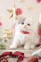1匹の猫 エキゾチック(ロングコート) 21028022991  写真素材・ストックフォト・画像・イラスト素材 アマナイメージズ