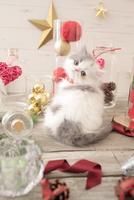 1匹の猫 エキゾチック(ロングコート) 21028022993  写真素材・ストックフォト・画像・イラスト素材 アマナイメージズ
