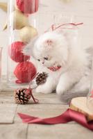 1匹の猫 エキゾチック(ロングコート) 21028022996  写真素材・ストックフォト・画像・イラスト素材 アマナイメージズ