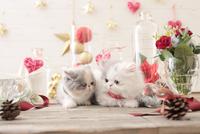 2匹の猫 エキゾチックショートヘアとエキゾチック(ロングコート) 21028022998| 写真素材・ストックフォト・画像・イラスト素材|アマナイメージズ