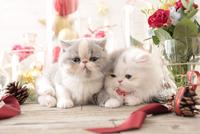 2匹の猫 エキゾチックショートヘアとエキゾチック(ロングコート) 21028023000| 写真素材・ストックフォト・画像・イラスト素材|アマナイメージズ