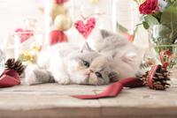 2匹の猫 エキゾチックショートヘアとエキゾチック(ロングコート) 21028023001| 写真素材・ストックフォト・画像・イラスト素材|アマナイメージズ