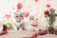 2匹の猫 エキゾチックショートヘアとエキゾチック(ロングコート) 21028023004| 写真素材・ストックフォト・画像・イラスト素材|アマナイメージズ