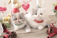 2匹の猫 エキゾチックショートヘアとエキゾチック(ロングコート) 21028023006| 写真素材・ストックフォト・画像・イラスト素材|アマナイメージズ