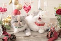2匹の猫 エキゾチックショートヘアとエキゾチック(ロングコート) 21028023007| 写真素材・ストックフォト・画像・イラスト素材|アマナイメージズ