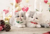 2匹の猫 エキゾチックショートヘアとエキゾチック(ロングコート) 21028023011| 写真素材・ストックフォト・画像・イラスト素材|アマナイメージズ