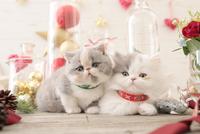 2匹の猫 エキゾチックショートヘアとエキゾチック(ロングコート) 21028023013| 写真素材・ストックフォト・画像・イラスト素材|アマナイメージズ