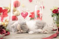 2匹の猫 エキゾチックショートヘアとエキゾチック(ロングコート) 21028023017| 写真素材・ストックフォト・画像・イラスト素材|アマナイメージズ