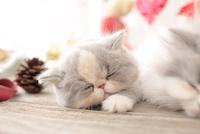 1匹の猫 エキゾチックショートヘア 21028023019  写真素材・ストックフォト・画像・イラスト素材 アマナイメージズ