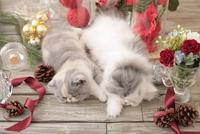 2匹の猫 エキゾチックショートヘアとエキゾチック(ロングコート) 21028023021| 写真素材・ストックフォト・画像・イラスト素材|アマナイメージズ