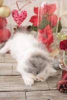 1匹の猫 エキゾチック(ロングコート) 21028023022  写真素材・ストックフォト・画像・イラスト素材 アマナイメージズ
