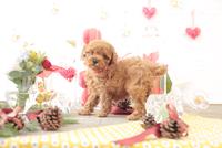 1匹の犬 トイプードル 21028023023  写真素材・ストックフォト・画像・イラスト素材 アマナイメージズ