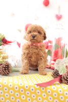 1匹の犬 トイプードル 21028023024  写真素材・ストックフォト・画像・イラスト素材 アマナイメージズ