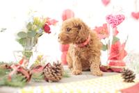 1匹の犬 トイプードル 21028023030  写真素材・ストックフォト・画像・イラスト素材 アマナイメージズ