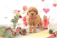 1匹の犬 トイプードル 21028023031  写真素材・ストックフォト・画像・イラスト素材 アマナイメージズ