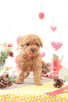 1匹の犬 トイプードル 21028023032  写真素材・ストックフォト・画像・イラスト素材 アマナイメージズ