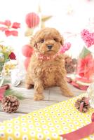 1匹の犬 トイプードル 21028023035  写真素材・ストックフォト・画像・イラスト素材 アマナイメージズ