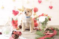 1匹の犬 柴犬 21028023037  写真素材・ストックフォト・画像・イラスト素材 アマナイメージズ