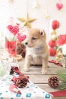 1匹の犬 柴犬 21028023039  写真素材・ストックフォト・画像・イラスト素材 アマナイメージズ