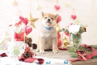 1匹の犬 柴犬 21028023044  写真素材・ストックフォト・画像・イラスト素材 アマナイメージズ