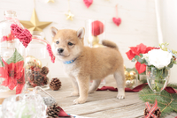 1匹の犬 柴犬 21028023048  写真素材・ストックフォト・画像・イラスト素材 アマナイメージズ
