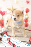 1匹の犬 柴犬 21028023051  写真素材・ストックフォト・画像・イラスト素材 アマナイメージズ