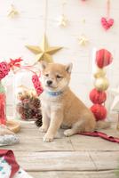1匹の犬 柴犬 21028023055  写真素材・ストックフォト・画像・イラスト素材 アマナイメージズ