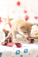 1匹の犬 柴犬 21028023057  写真素材・ストックフォト・画像・イラスト素材 アマナイメージズ