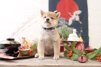 1匹の犬 柴犬 21028023060  写真素材・ストックフォト・画像・イラスト素材 アマナイメージズ