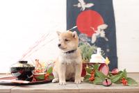 1匹の犬 柴犬 21028023061  写真素材・ストックフォト・画像・イラスト素材 アマナイメージズ