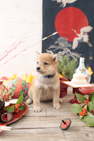 1匹の犬 柴犬 21028023069  写真素材・ストックフォト・画像・イラスト素材 アマナイメージズ