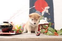 1匹の犬 柴犬 21028023071  写真素材・ストックフォト・画像・イラスト素材 アマナイメージズ