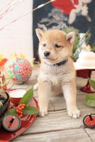 1匹の犬 柴犬 21028023076| 写真素材・ストックフォト・画像・イラスト素材|アマナイメージズ