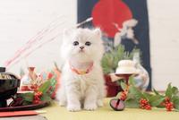 1匹の猫 ペルシャ(チンチラ シルバー) 21028023079  写真素材・ストックフォト・画像・イラスト素材 アマナイメージズ