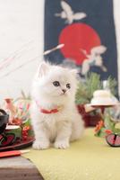 1匹の猫 ペルシャ(チンチラ シルバー) 21028023082  写真素材・ストックフォト・画像・イラスト素材 アマナイメージズ
