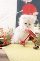 1匹の猫 ペルシャ(チンチラ シルバー) 21028023084  写真素材・ストックフォト・画像・イラスト素材 アマナイメージズ
