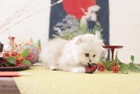 1匹の猫 ペルシャ(チンチラ シルバー) 21028023087  写真素材・ストックフォト・画像・イラスト素材 アマナイメージズ