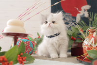 1匹の猫 エキゾチック(ロングコート) 21028023089  写真素材・ストックフォト・画像・イラスト素材 アマナイメージズ